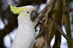 Sulphur-crested Cockatoo (Luke6876) Tags: sulphurcrestedcockatoo cockatoo parrot australianwildlife