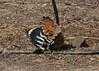 Putting on a show (Grumpys Gallery) Tags: hoopoe eurasianhoopoe birds wildlife nature mushrifpark dubai uae