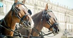"""Die Scheuklappe. Die Scheuklappen. Die Pferde tragen Scheuklappen damit sie nicht erschrecken und scheuen (zurückschrecken, davonlaufen). • <a style=""""font-size:0.8em;"""" href=""""http://www.flickr.com/photos/42554185@N00/30893654422/"""" target=""""_blank"""">View on Flickr</a>"""