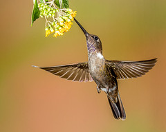 Brown Inca (Andy Morffew) Tags: browninca hummingbird inflight bif tandayapabirdlodge ecuador andymorffew morffew explore explored naturethroughthelens