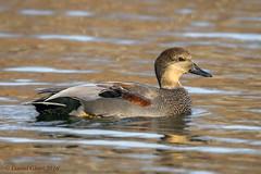 Gadwall Duck (Anas strepera) drake (danielusescanon) Tags: gunnerslake wild gadwallduck anasstrepera swimming birdperfect animalplanet maryland