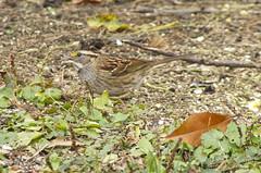 White-throated Sparrow (mmorriso2002) Tags: bird sparrow nature wildlife backyardhabitat newjersey whitethroatedsparrow