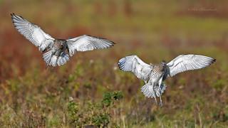 Curlew (explored)