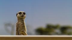 Wide open spaces (robertcampbellphotography) Tags: paradisewildlifepark meerkat animal zoo uk suricate mongoose