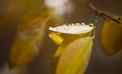 Autumn rain_7DWF Flora (keiko*has) Tags: autumn woods leaf droplet gold yellow rain