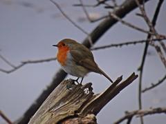 Renfrew Robin (Bricheno) Tags: bird robin renfrew bricheno scotland escocia schottland cosse scozia esccia szkocja scoia