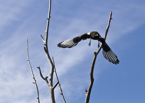 magpie in flight 1