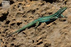 Regeneracion (Andres Breijo http://andresbreijo.com) Tags: lagartija reptil animal muda lagarto formentera naturaleza baleares espaa isla island turquesa