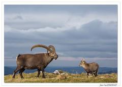 Le vieux mle et le p'tit dernier ( ou la p'tite dernire) (Corine et Jean-Yves) Tags: animaux mammifres bouquetins jura suisse automne