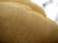 Lion's Mane Mushroom (treegrow) Tags: washingtondc rockcreekpark lifeonearth nature canonpowershotsx40hs plant angiosperms hericiaceae fungi mushroom hericium taxonomy:genus=hericium
