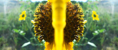 Double Sided Flower (Coolmike5000) Tags: edited early kearns greenery bright green creative brown orange art yellow midday outside outdoors out sunflower michaeljohnson pictre pic pictere pictr picture life different microshot color coolmike5000 plants photography photo photoshoped photoshop plant spring nature macroshot flower mj85972 mirrored mirored mirror miror doublesided
