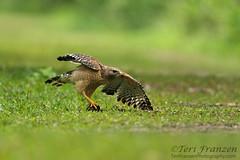Rethinking the Turtle (tkfranzen) Tags: redshoulderedhawk buteolineatus florida birdsofflorida turtle swamp spring2016 spring tnclivenature animalplanet raptor