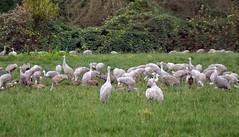 Sandhill Cranes (BriarCraft) Tags: bird crane sandhillcrane