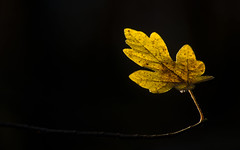 dernire feuille (Denis Vandewalle) Tags: feuille automne autumn nature contrast jaune yellow macro macrophotography pentaxk5