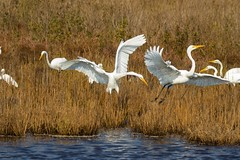 7K8A3912 (rpealit) Tags: scenery wildlife nature chincoteaque national refuge great egrets bird egret
