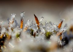 Mauer-Drehzahnmoos (Tortula muralis) (3) (Ellenore56) Tags: 30112016 mauerdrehzahnmoos drehzahnmoos tortula tortulamuralis moos moss bog dosh eiskristall eiskristalle kristall 5°c frostig frosty frost kalt cold cool gefroren frozen ice iced freeze eis diamond crystal icecrystal wasser water h2o wetter weather detail makro macro moment augenblick sichtweise perception refraction perspektive perspective reflektion reflection reflexion farbe color colour licht light inspiration imagination faszination magic natur nature sonyslta77 ellenore56 glitzer glitter sparkle reflectionoflight nahtour