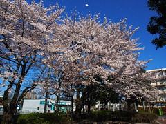 Cherry Blossom in wind (adventurerob) Tags: japan olympus cherryblossom sakura omd saitamaken em5