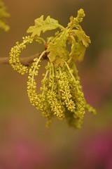 Oak Pollen (Angela M. Miller (on a long, long break)) Tags: leaves spring a33 pollen oaktree oakleaves slt allergies tamron90mm sonyalpha sonya33 sonyslt