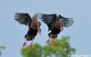 Black-bellied Whistling Ducks, Nesting Pair - Bayou Courtableau, Louisiana (Image Hunter 1) Tags: blue sky tree nature birds flying duck wings louisiana couple pair flight landing bayou swamp greenery marsh wingspan whistlingduck wingspread blackbelliedwhistlingduck canoneos7d birdslouisiana bayoucourtableau