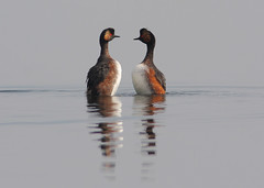 Geoorde fuut, Blacked necked grebe (Pepijn Hof) Tags: morning holland colour reflection bird eye nature water birds animal canon noir  wildlife nederland natuur piccolo rood cou vogel grebe oog zuidholland reflectie fuut spiegeling blacknecked 300mmf4 southholland podiceps nigricollis courtshipdisplay svasso grbe balts 40d zampulln avianexcellence geoordefuut schwarzhalstaucher baltsen cuellinegro geoorde blackedneckedgrebe