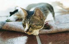 (Te leo al s ) Tags: alfombra cat carpet eyes floor ears ojos gato suelo piso orejas