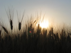 rising through (stefg74) Tags: summer sun sunrise farm wheat plan rise larisa thessaly