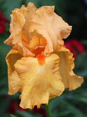 Iris Savannah Sunset (donsutherland1) Tags: flowers iris ny newyork bronx blossoms bloom soe nybg claudemonet newyorkbotanicalgarden iridaceae tallbeardediris thegalaxy savannahsunset natureplus flickraward flowersarebeautiful awesomeblossoms saariysqualitypictures fleursetpaysages monetsgarden allnaturesparadise