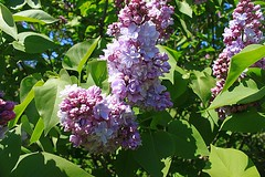 Central Experimental Farm Lilacs 016 (Chrisser) Tags: flowers ontario canada nature garden spring gardening ottawa fourseasons closeups lilacs syringa oleaceae centralexperimentalfarm canonefs1855mmf3556islens canoneosrebelt1i