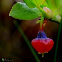 Blbrsblomma (G.Claesson) Tags: highlands sweden schweden suecia nssj blbrsblomma hglandet blueberryflower heidelbeereblume flordelardano