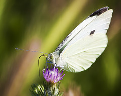 Pieris Rapae (Kk Beyazmelek) (Emre Aksu (Life in Nature)) Tags: butterfly pieris rapae kk beyazmelek nature naturel canon eos 450d 55250 national geographic macro makro kelebek