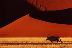 Oryx and the Sossusvlei Dunes - Refreshed (hannes.steyn) Tags: africa red nature animals canon sand 2000 desert wildlife dunes explore antelope mammals namibia reserves oryx sossusvlei namib interestingness224 i500 550d gemsbuck hardap hannessteyn canonefs18200mmf3556is canon550d eosrebelt2i namibnaukliftpark explore20130523