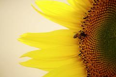 410  -   S U M M E R     T I M E (ArvinderSP) Tags: flower yellow petals details sunflower nikkor honeybee diskflowers nikon28105f3545d nikond3100