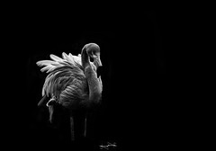 Flamant rose ('^_^ Damail Nobre ^_^') Tags: park blackandwhite favorite france nature animal animals darkroom photoshop canon pose french photography zoo claire nice flickr raw gallery  niceshot photographie affection photos outdoor robe mark explorer creative picture award best yeux fave explore jungle monde animaux iledefrance franais francais adoration africain afrique 70200mm photographe raye favoris quid dfn damail hdraward photophotographe damailsl wwwdamailfr