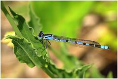 damsel (steve.christian.1485) Tags: blue macro nature spring pentax bokeh yorkshire wetlands damselfly k7 masham marfield pentaxdfa100mmmacro pentaxk7