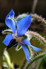 Boraccio (Elliott Bignell) Tags: blue flower stack borage stacker borretsch dff zerene boraccio