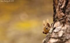 Peeping Squirrel [Explored 2013.07.09] (sumo1664) Tags: uk nature scotland nikon unitedkingdom wildlife explore gb aviemore cairngorm redsquirrel rothiemurchus sciurusvulgaris nikkor300mm28 nikond300s