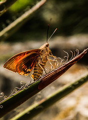 java-17-2 (XavierCote) Tags: bugs papillon abeille insectes butterflys gupe photographyforrecreation