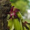 Vinagrillo II (Karen Blix) Tags: bellavista santodomingo oxalidaceae vinagrillo averrhoa averrhoabilimbi pepinito
