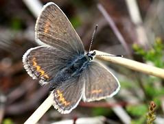 Silver Studded Blue (3/12) (Ger Bosma) Tags: macro closeup butterfly nia plebejusargus silverstudded silverstuddedblue heideblauwtje ljungblvinge argusbleu argusbluling azurdelajonc  geiskleebluling modraszekargus heideblaujurkje argusblfugl img98645