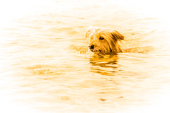 sea-born (Andi Gast) Tags: ocean sea portrait dog chien lake reflection cute art beach dogs nature monochrome animal animals swim golden high beige key sweet fine perro hund highkey andigast