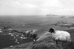 Blasket Islands (Riverman___) Tags: county ireland blackandwhite film islands nikon sheep kodak voigtlander dingle kerry 40mm horn fm3a blasket slii