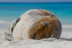 Galpagos Sea Lion (I.J.B.) Tags: ocean blue sleeping baby white holiday beach animal fur mammal nikon marine pacific sleep wildlife innocent peaceful darwin evolution galapagos whiskers serenity endangered sealion asleep whitesand endemic
