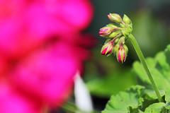 Planos Florales (José Ramón de Lothlórien) Tags: flowers plants flores macro verde hoja hojas flora plantas jr shamrocks shamrock follaje gree botones malbon trebol producciones capollo treboes