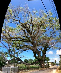 Tongan Rainbow (or Monkey Pod) Tree (rona.h) Tags: email september tonga vavau rainbowtree ronah monkeypodtree 2013