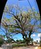 Tongan Rainbow (or Monkey Pod) Tree (rona.h) Tags: email september tonga vavau rainbowtree ronah monkeypodtree 2013