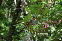 Lily of the valley tree (Elaeocarpus grandiflorus) (Zaharil/ Texas) Tags: plant flower tree nature forest flora southeastasia tropical biodiversity flowerbud angiosperm peninsularmalaysia westmalaysia mendong notevaluatediucnredlist