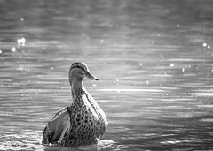 one day at a time (sparkleplenty_fotos) Tags: blackandwhite sunlight water sunshine duck pond mallard sliders hss slid happysliderssunday