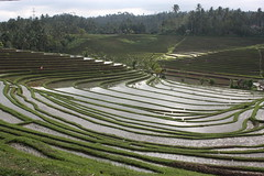 Rizire  Belimbing (Bali) (thiery49) Tags: summer bali indonesia rice terrasse t ricefields indonesian riz balinese indonsie rizire balinais indonsien