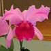 Unknown Cattleya Hybrid – Maryanne Kind