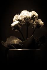 Flower Pot Antique (Drachenfanger) Tags: flower macro art nature k virginia hit unitedstates d fineart natur pot smell p senses makro virginiabeach lipoma kunstwelt photosophie giesea lipom crowdmedia drachenfanger ilobsterit andreasmgiesea darchenfanger